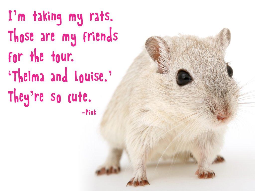 Pet Rat Quotes Pinterest thumbnail